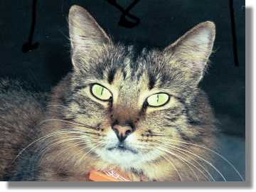 Maine Coon-mix tabby cat.